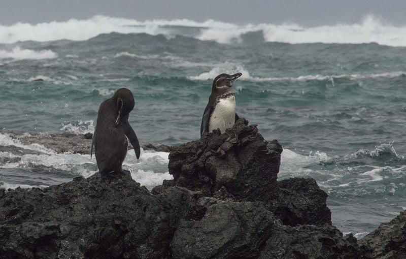 Пингвин животные Галапагосских островов