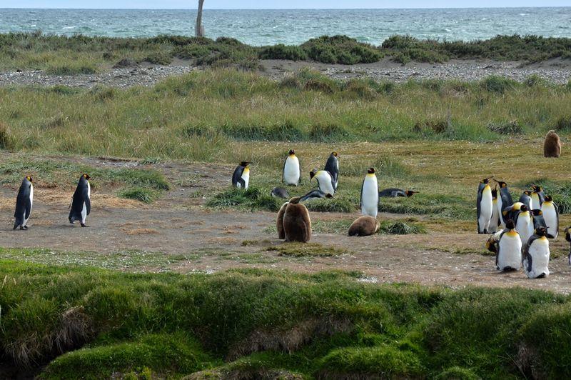 Детеныш королевского пингвина
