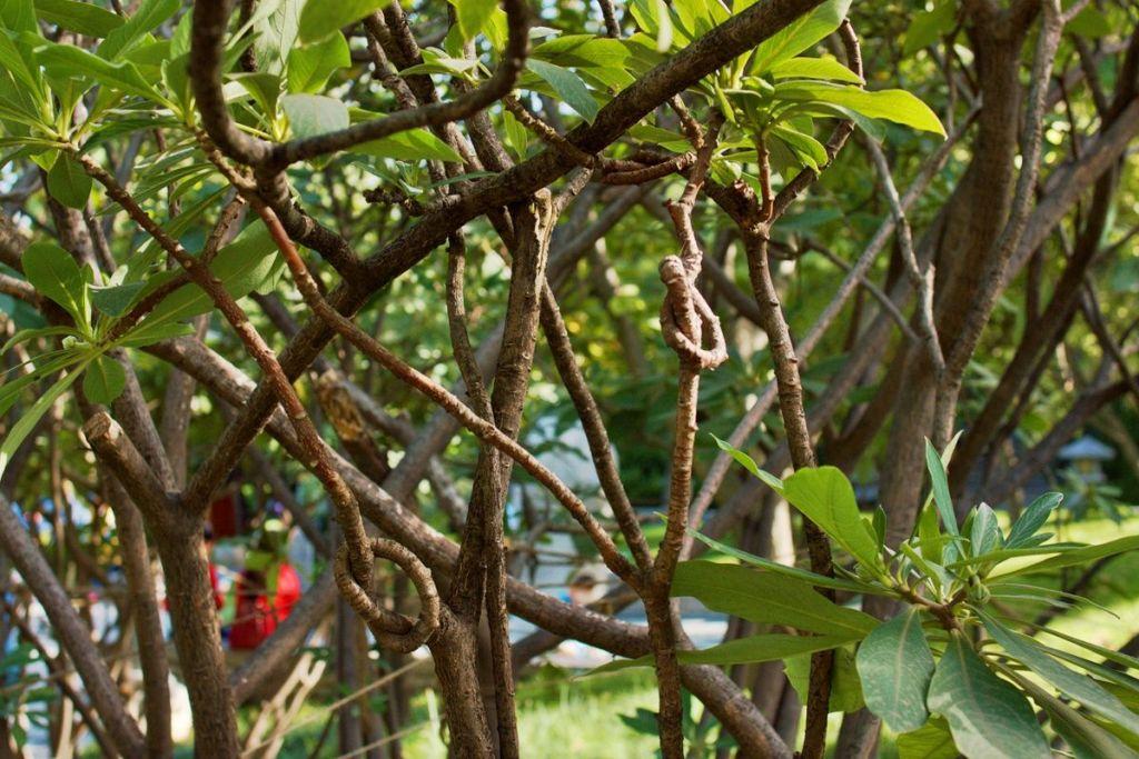 Ветка дерева завязанная в узел