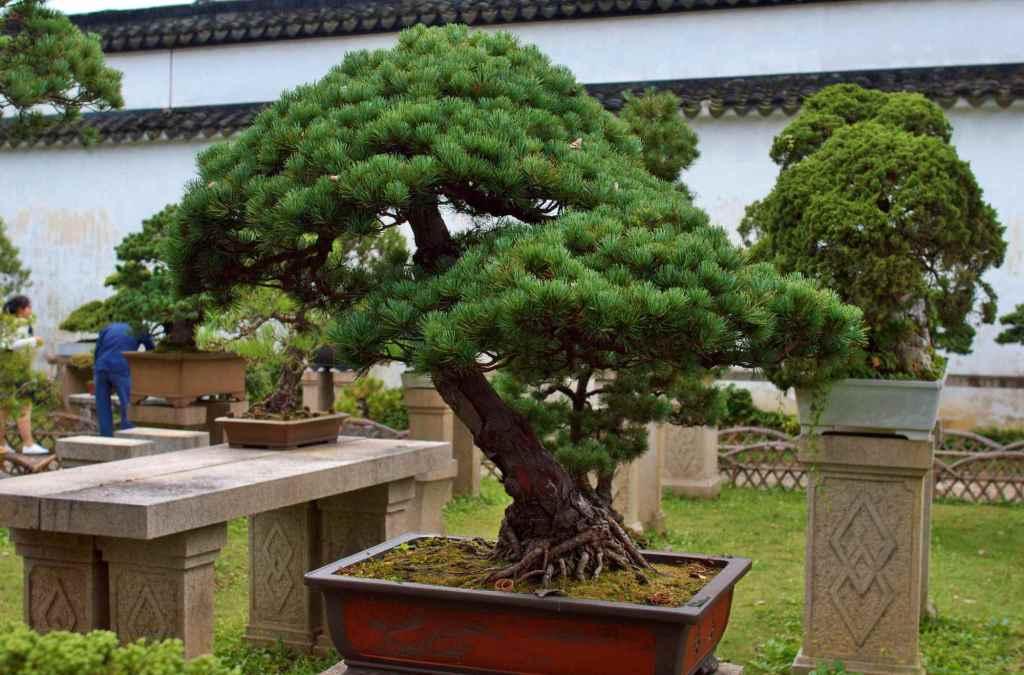 Миниатюрные деревья Восток
