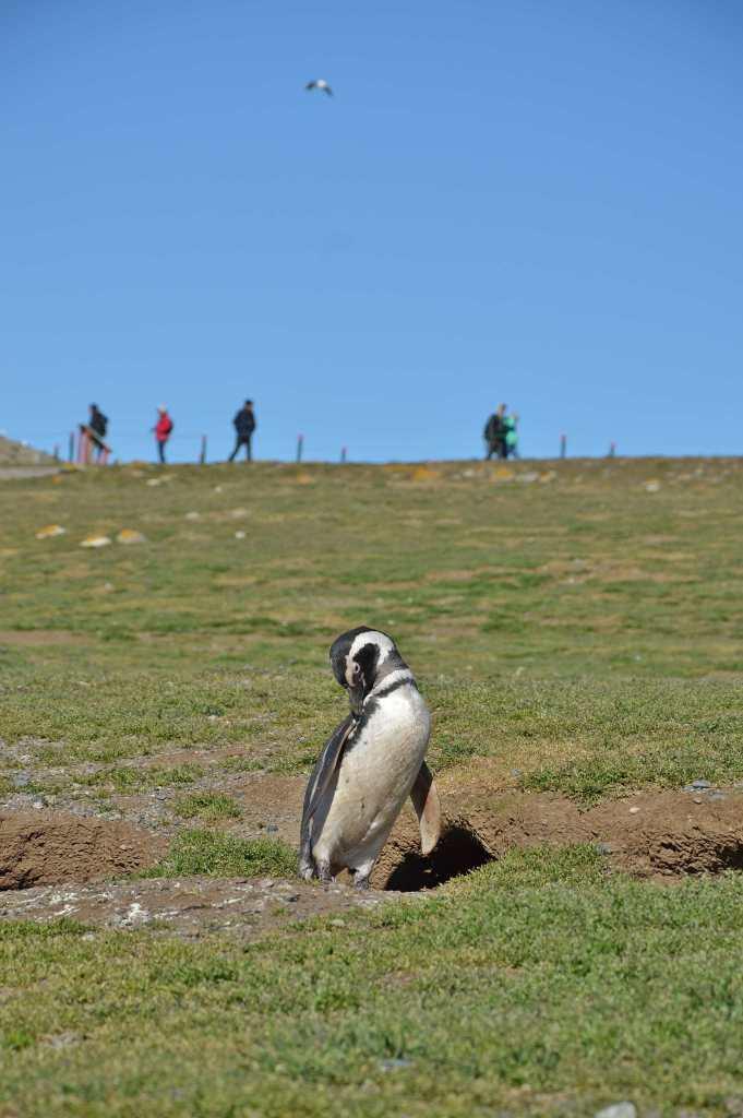 Чистка перьев пингвиненком