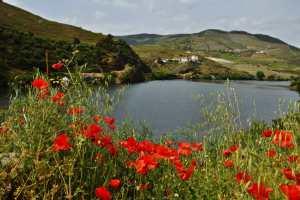 Красные маки у озера