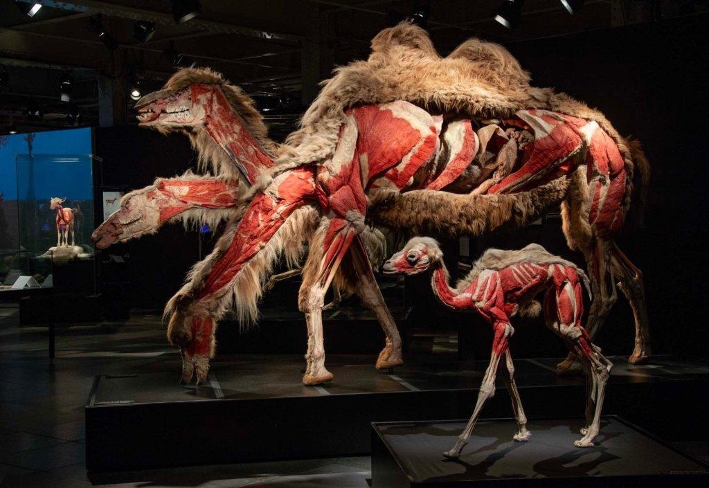 Животные наизнанку - верблюжья семья