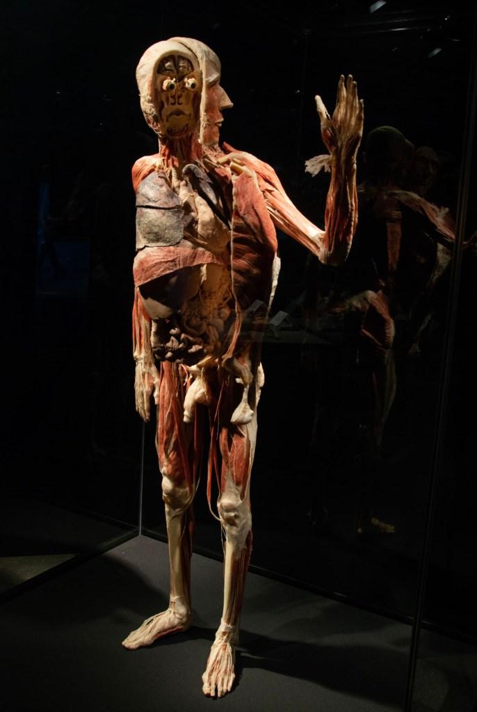Анатомия человека на выставке Животные наизнанку