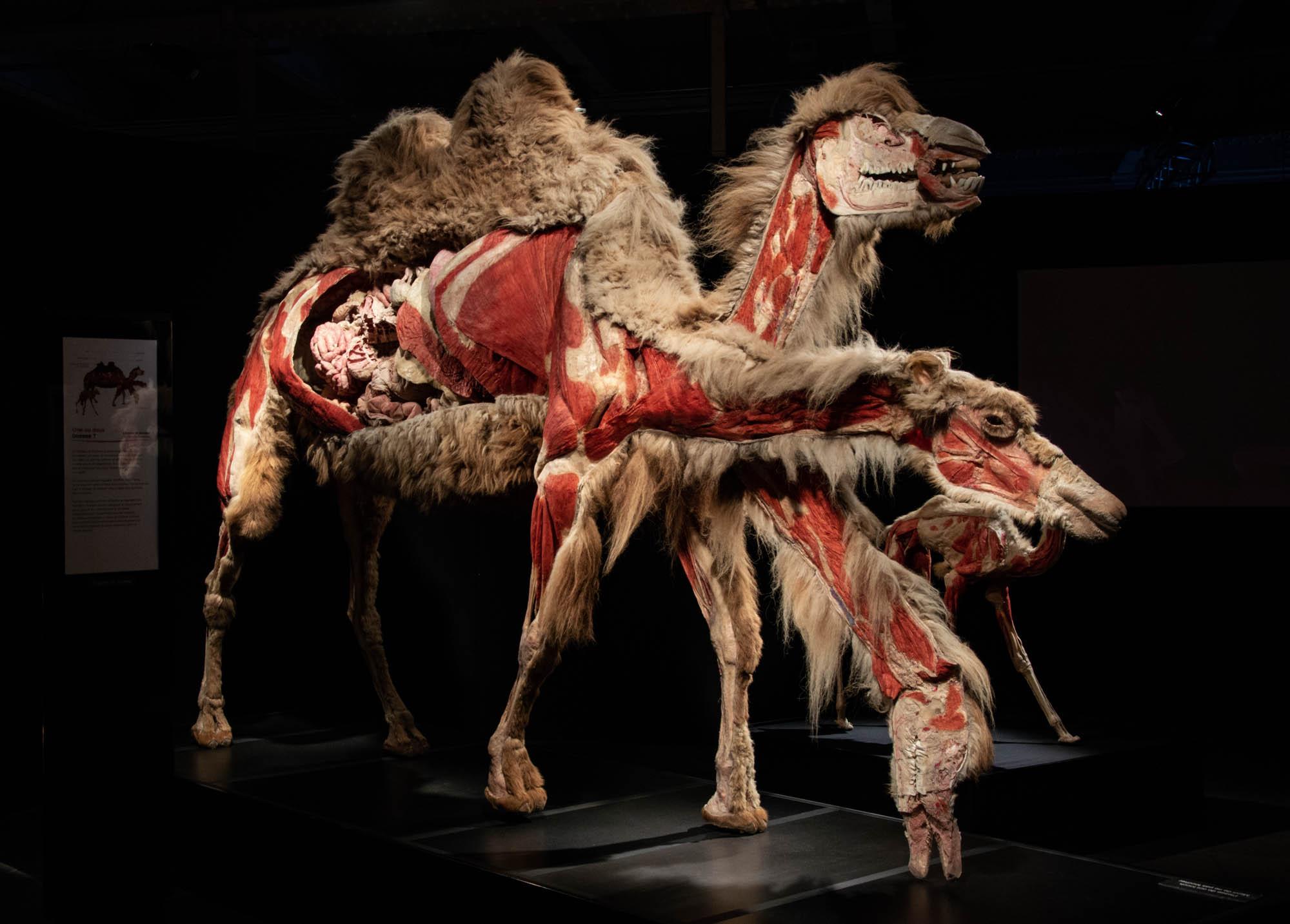 Верблюды - статуя