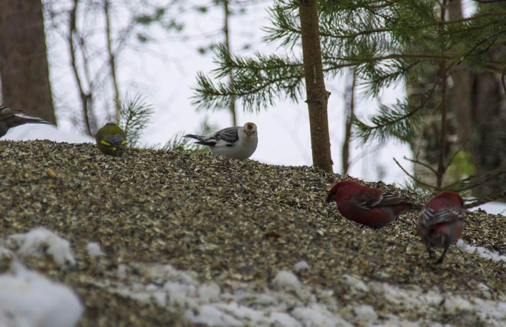 Птицы Финляндии