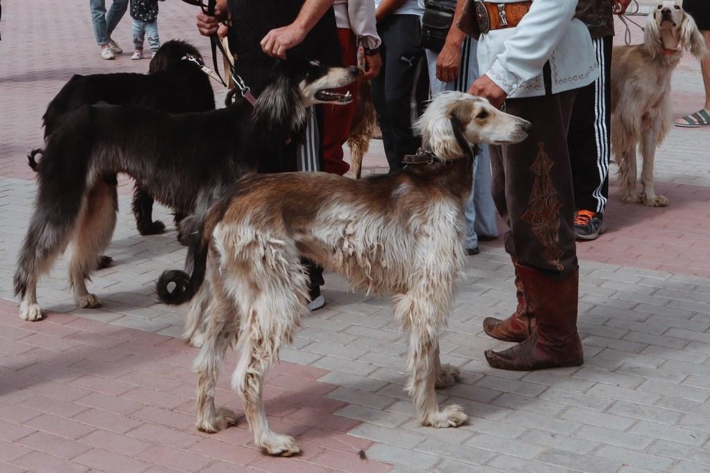 Борзая собака Киргизия