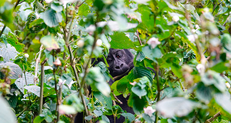mountain gorilla trekking - Drive 4 Wildlife