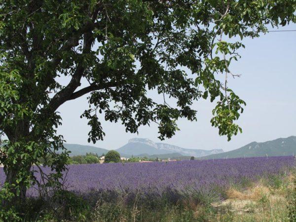 Blühendes Lavendelfeld mit einem Walnussbaum im Vordergrund bei einer Motorradtour in die Drôme Provençale