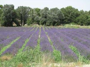 Bild eines Lavendelfeldes in der Drôme provençale