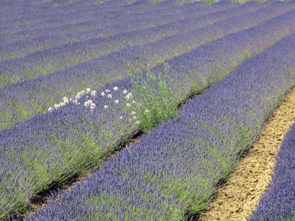 Lavendelfeld, gesehen bei einer Motorradtour zum Mont Ventoux