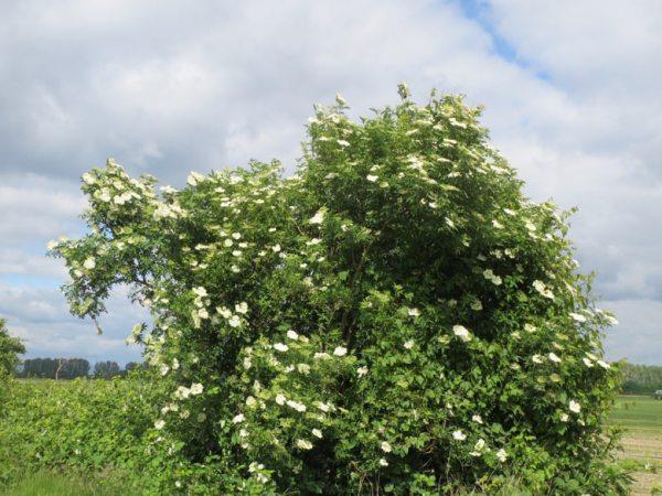 Blühender Holunderbusch im Bild mit weißem Blüten in offener Landschaft