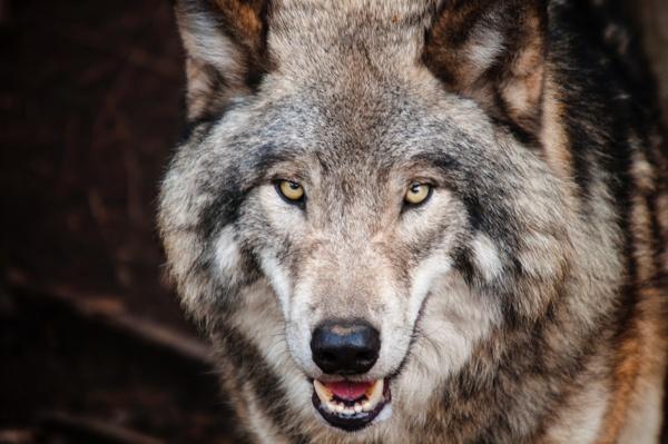 Portraibild Wolf