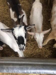 Merc Goat Farm