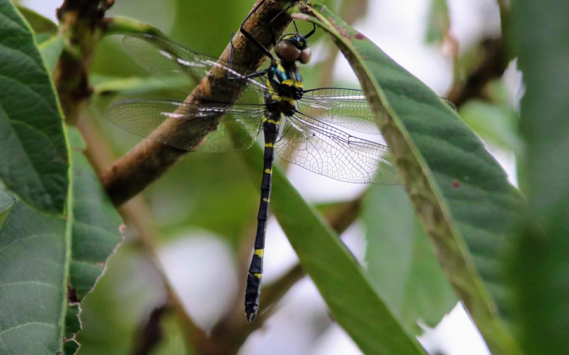 枇杷の木で休むトンボ