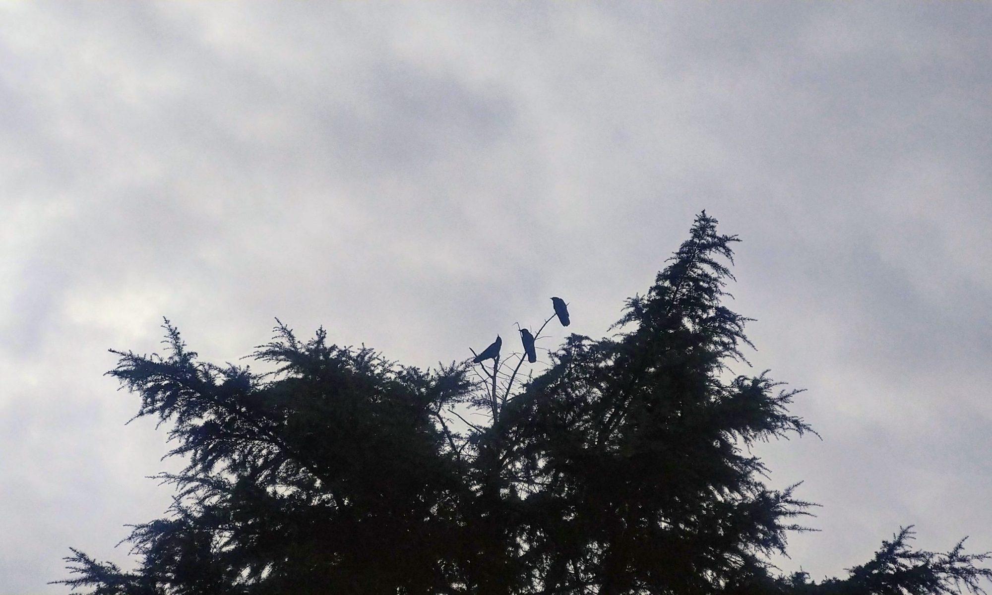 3羽のカラス