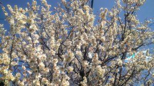 熊野神社の梅の木