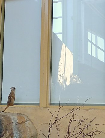 small meerkat in front of a big window, looking back toward us