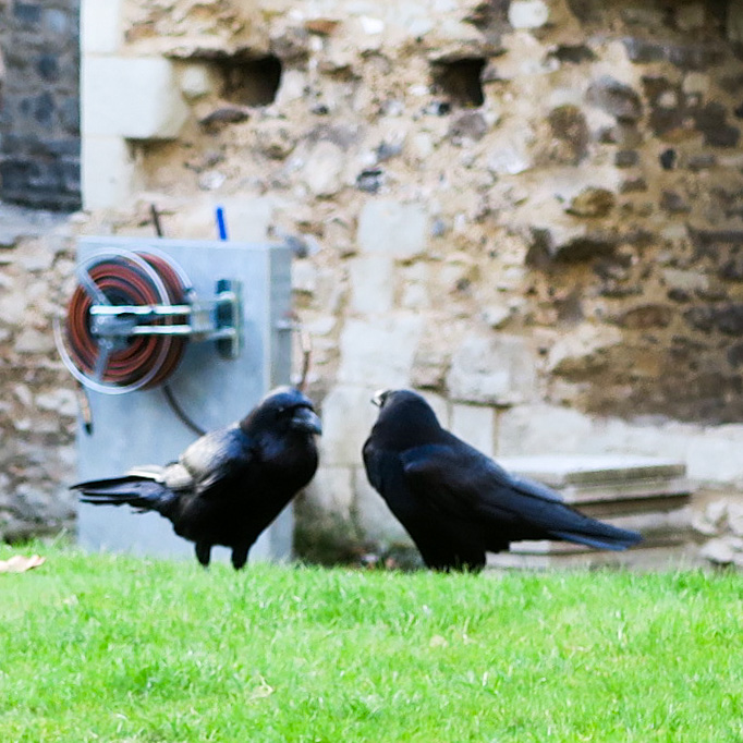 Ravens are essential at the Tower of London