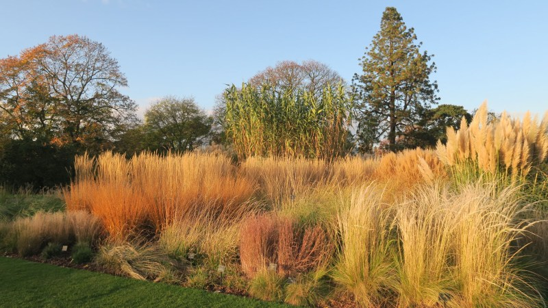 Grasses in the autumn at Kew Gardens, London