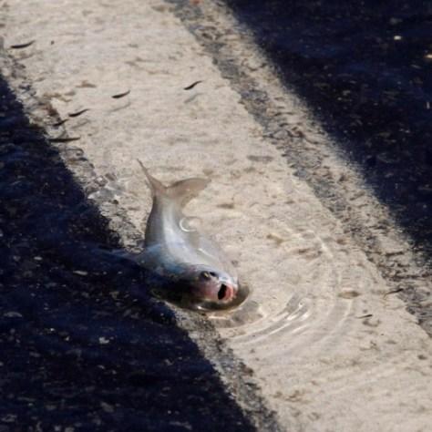 Un pez yace sobre la carretera Capricorn, parcialmente sumergida en la inundación.