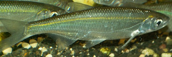 Alburnus-alburnus