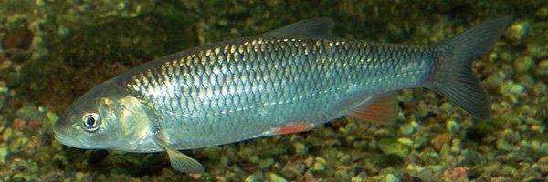 Squalius-cephalus