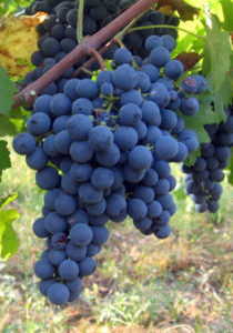 Grape-CabernetFranc