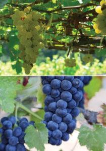 Grape-Chenin-and-Cabernet-Sauvignon