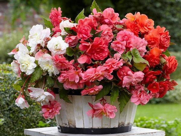 Высокий цветок с большими листьями и красными цветами ...
