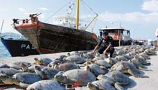 Dead turtles lining up at the harbour - photo from Daily Express
