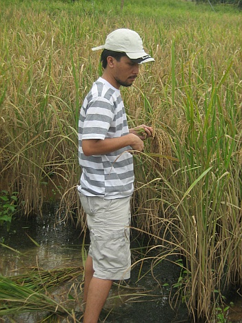 Paddy harvesting - Using a Rungus traditional way