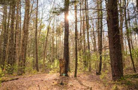 hemlock and white pine trees, sunset