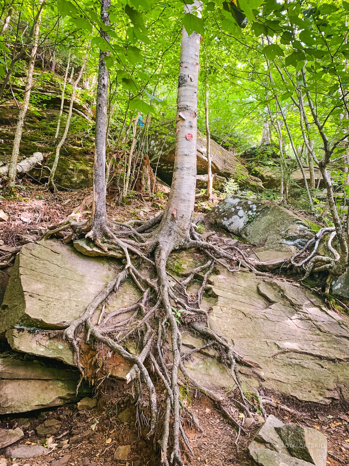 tree roots on boulder