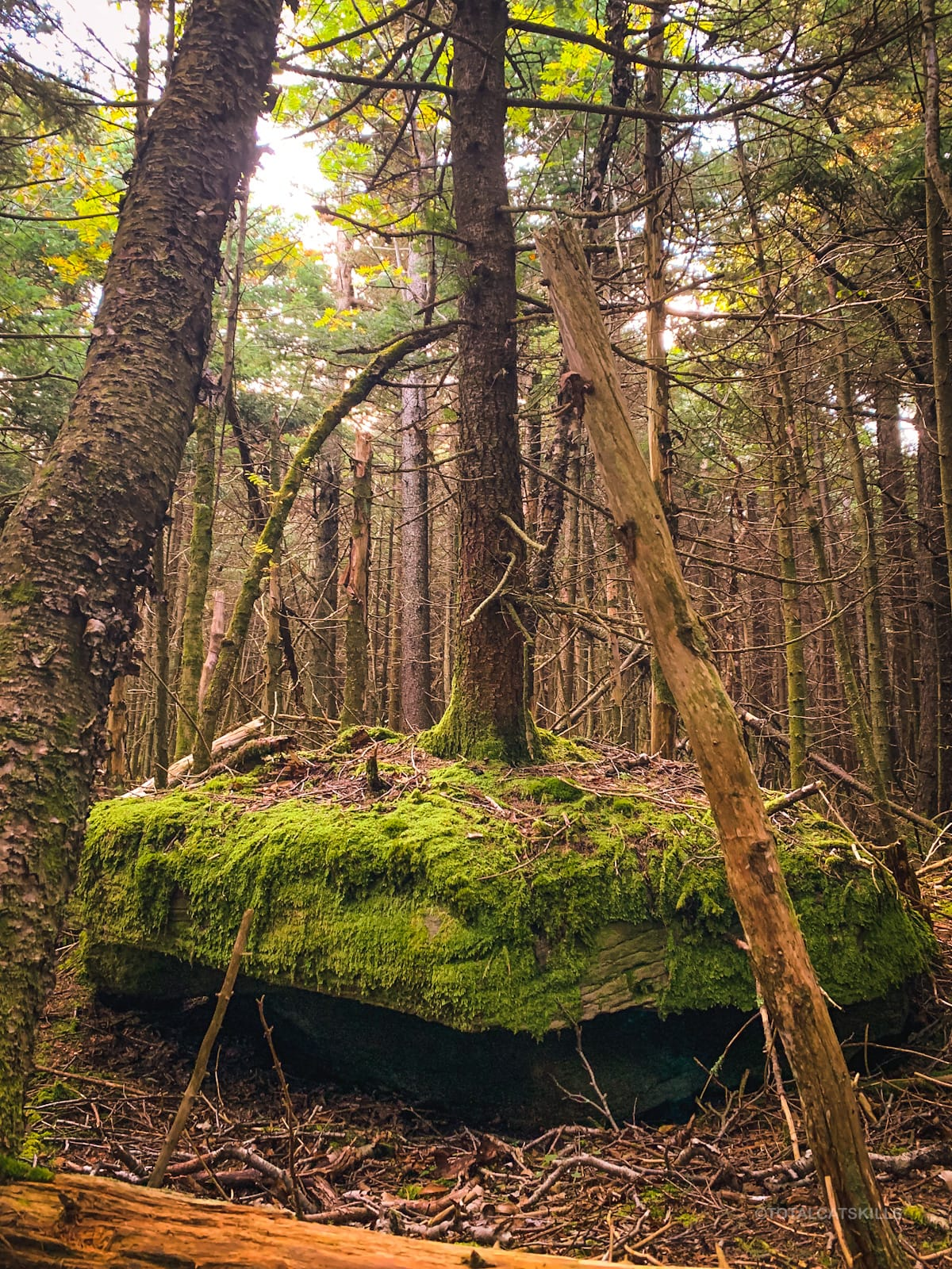 tree in woods, moss covered rock
