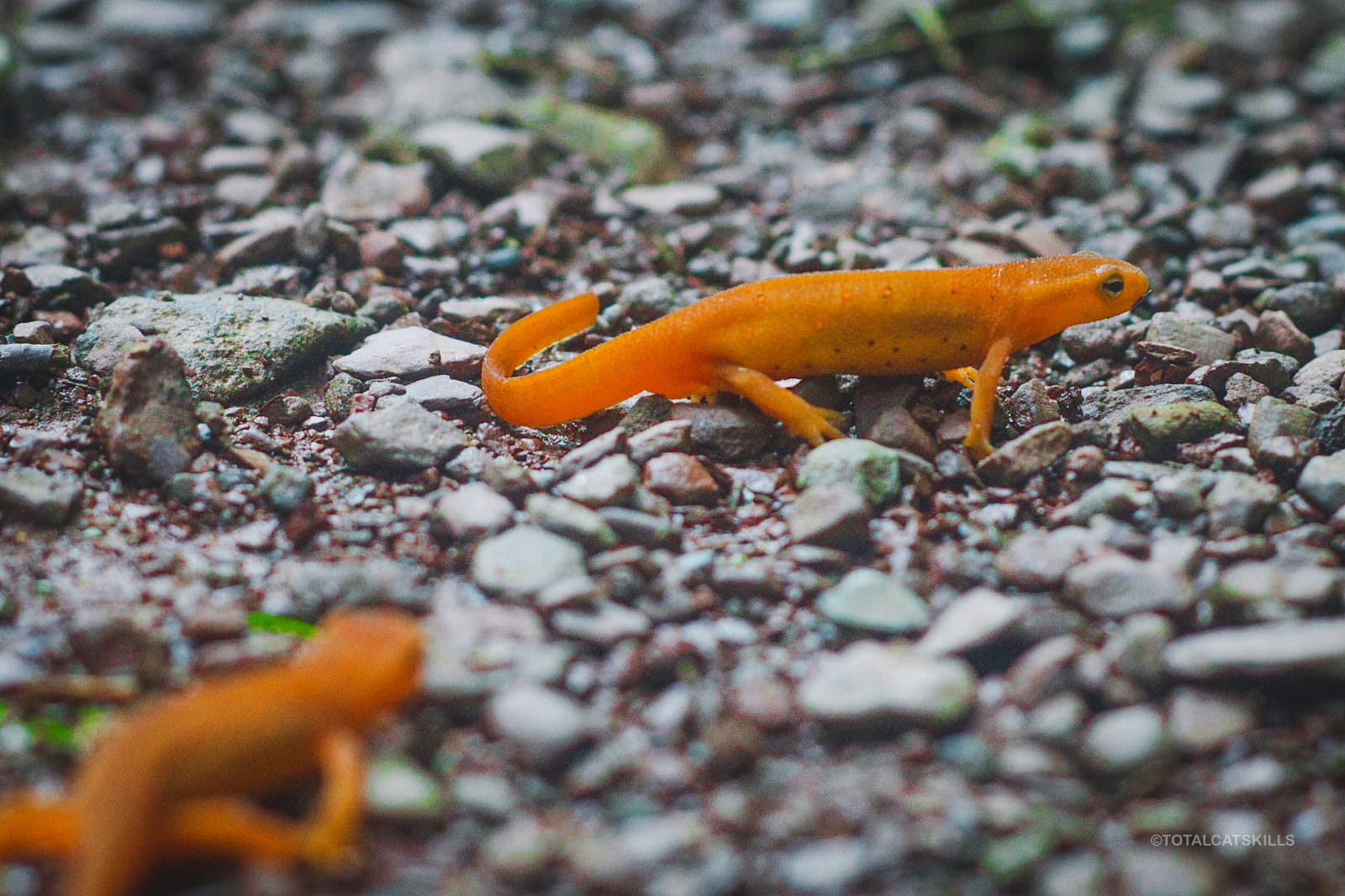 two red efts on gravel
