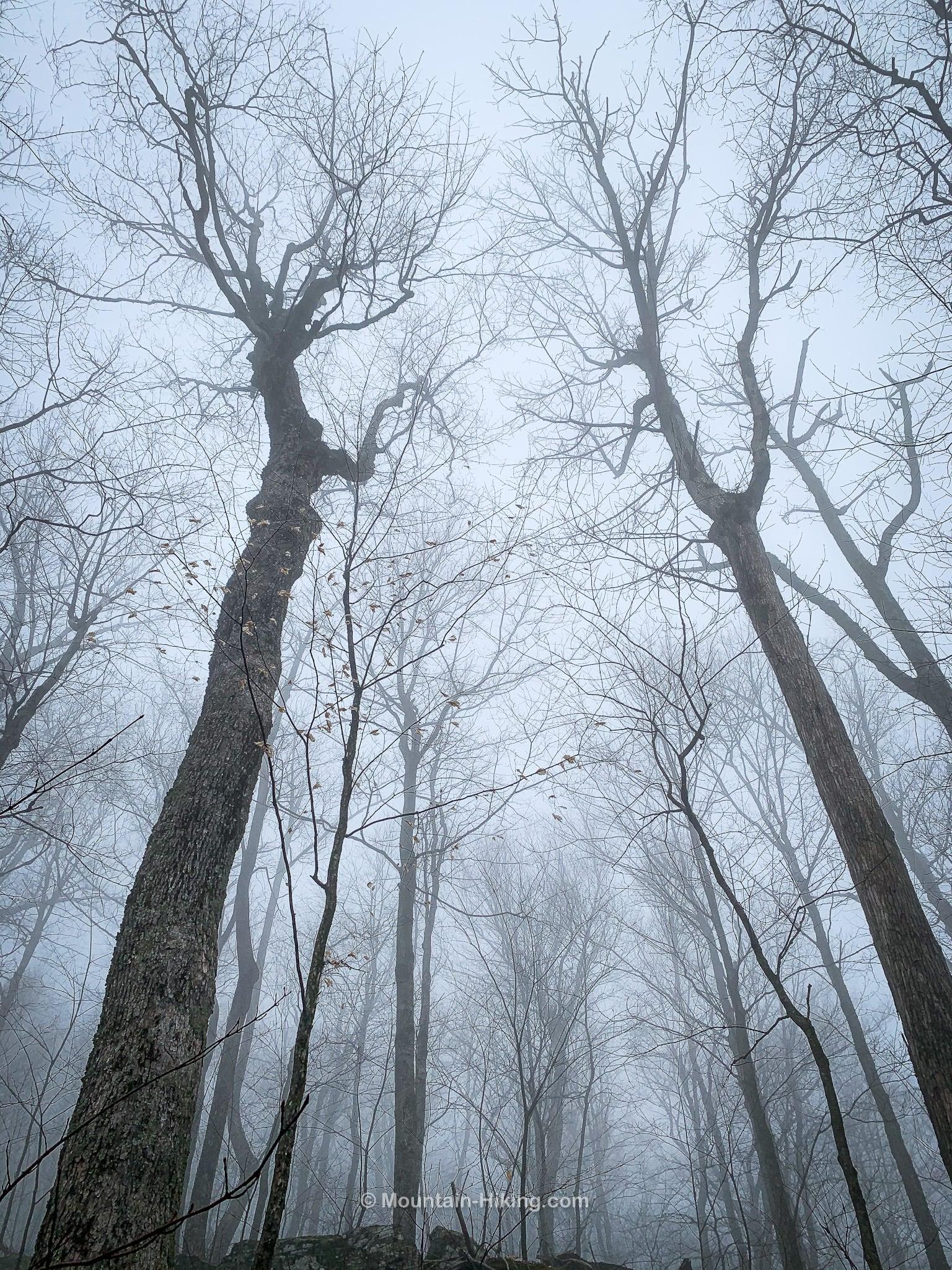 bare trees in fog