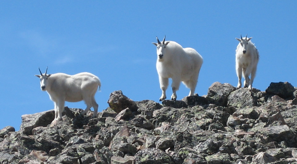 Mountain Goats in Summit County