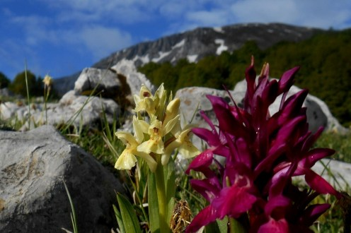 Elder-flowered Orchid (Dactylorhiza sambucina), Monte Pollino (background)