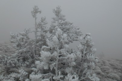 Bosnian pines in winter gowns