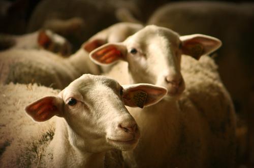 Préalpes sheep