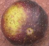 violet-sepor-skin-2