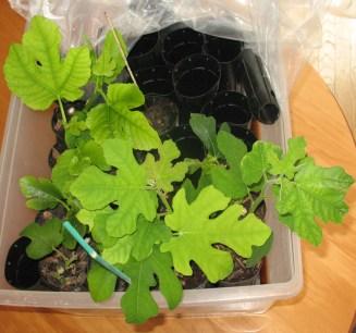 fig-tree-cuttings