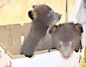 Waffles and Muffin, two of the rescued bear cubs