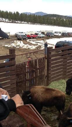 Hancock bison