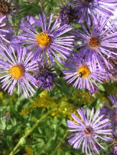 Our native asters provide fall color and much-needed food for pollinators.