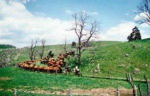 Cattle herding, Stuart Land & Cattle