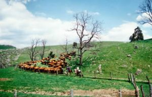 Cattle herding, Stuart Land & Cattle