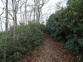 A trail through rhododendrons near the Channels