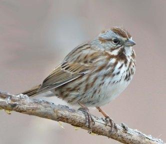 Song Sparrow_FCNC-CO_LAH_6640
